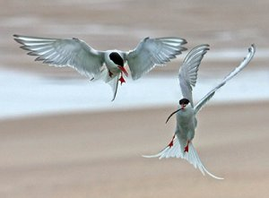 Arctic Tern. Photograph by Jill Pakenham