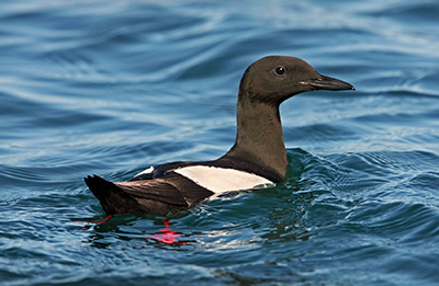 Black Guillemot. Photograph by Jill Pakenham
