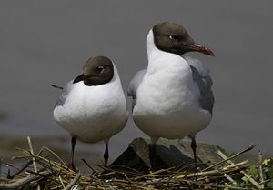 Black-headed Gull. Photograph by John Harding