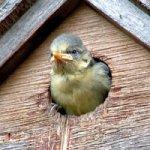 Blue Tit in nest box by Christine Matthews
