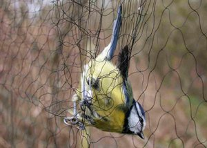 Blue Tit. Photograph by Mark Grantham