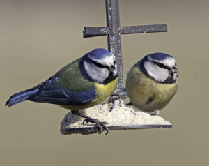 Blue Tit by John Harding