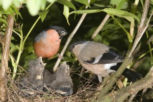 Pair of Bullfinch with young by John Harding
