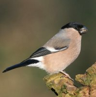 Bullfinch Adult female by Jill Pakenham