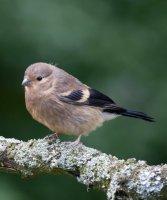 Bullfinch juvenile by John Harding