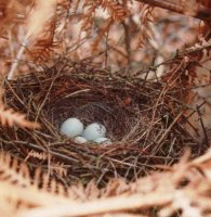 Bullfinch nest with eggs by Christoper Rowe