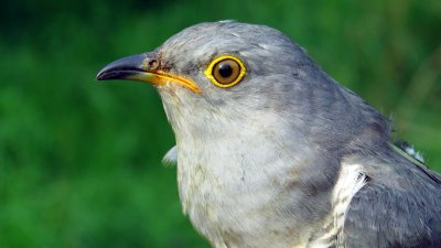 Cuckoo 134955, one of our tagged Cuckoos up for sponsorship
