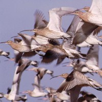 Curlew and Bar-tailed Godwit in flight. Photograph by Tommy Holden