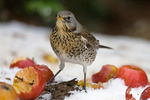 Fieldfare (Jeff Kew)