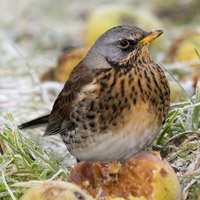 Fieldfare by John Harding