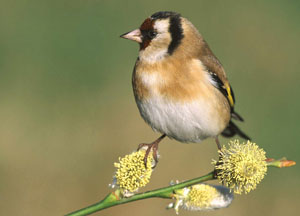 Goldfinch by Jill Pakenham