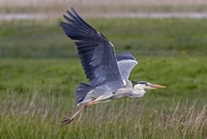 Grey Heron. Photograph by John Harding