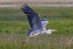 Grey Heron by John Harding