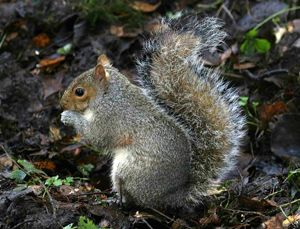 Grey Squirrel (John Harding)