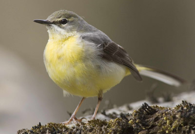 Grey Wagtail. Photograph by Edmund Fellowes
