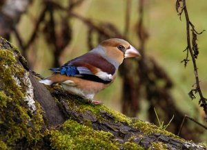 Hawfinch, by John Robinson