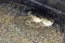 Young House Martins by John Harding