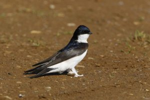 House Martin. Photograph by Dave Hutton