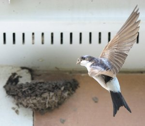House Martin. Photograph by Doug Welch