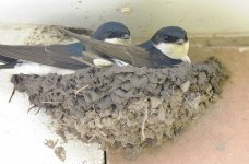 House Martin nest of mud by Doug Welch
