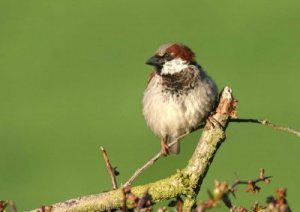House Sparrow, by John Harding