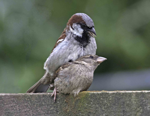 House Sparrows (John Harding)