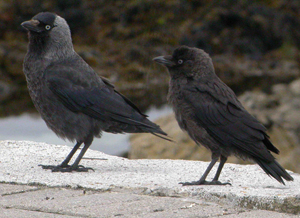 Adult and juvenile Jackdaw (John Harding)