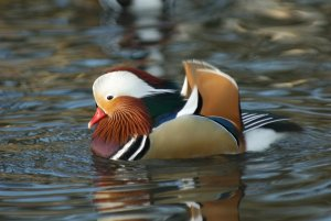 Mandarin Duck by Neil Calbrade