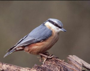 Nuthatch, by Chris Bradley