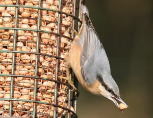 Nuthatch (Mark R Taylor)