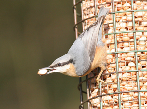 Nuthatch. Photograph by Mark R Taylor