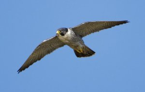 Peregrine. Photograph by Graham Catley