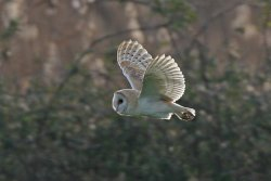 Barn Owl by Ron Marshall