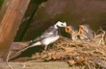 Pied-flycatcher
