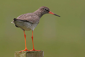 Redshank. Photo by Jill Pakenham