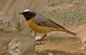 Redstart, by John Harding