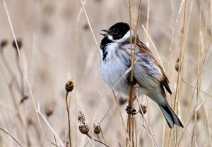 Reed Bunting. Photograph by Amy Lewis
