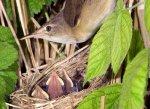 Reed Warbler by John Harding