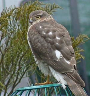 Sparrowhawk (Gordon Jamieson)
