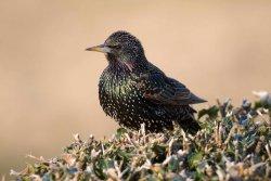 Starling by John Harding