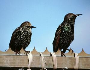 Starlings (Mike Weston)