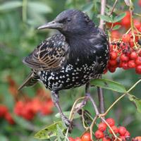 Starling. Photograph by John Harding