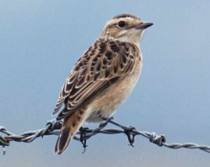 Whinchat by Mike Weston
