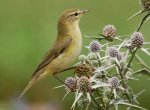 Willow Warbler. Photo by Jill Pakenham