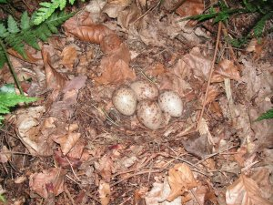 Woodcock nest near Swaffham, Norfolk. Photograph by Greg Conway