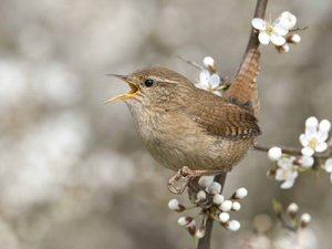 Wren. Photograph by Chris Knights