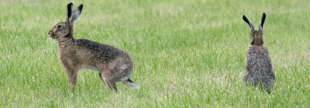 Brown Hares, by John Harding