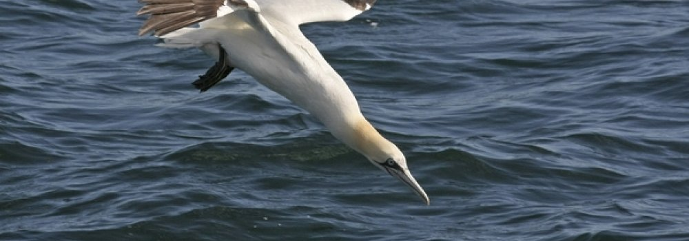 Gannet diving gives Iolo Williams goosebumps