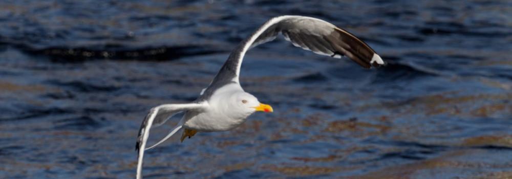 Lesser Black-backed Gull - Edmund Fellowes