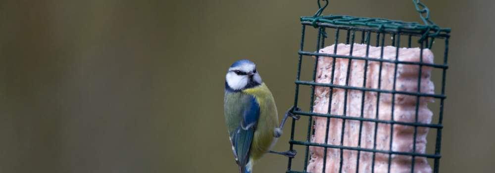Blue Tit, by Paul Newton